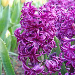 Hyacinth Purple