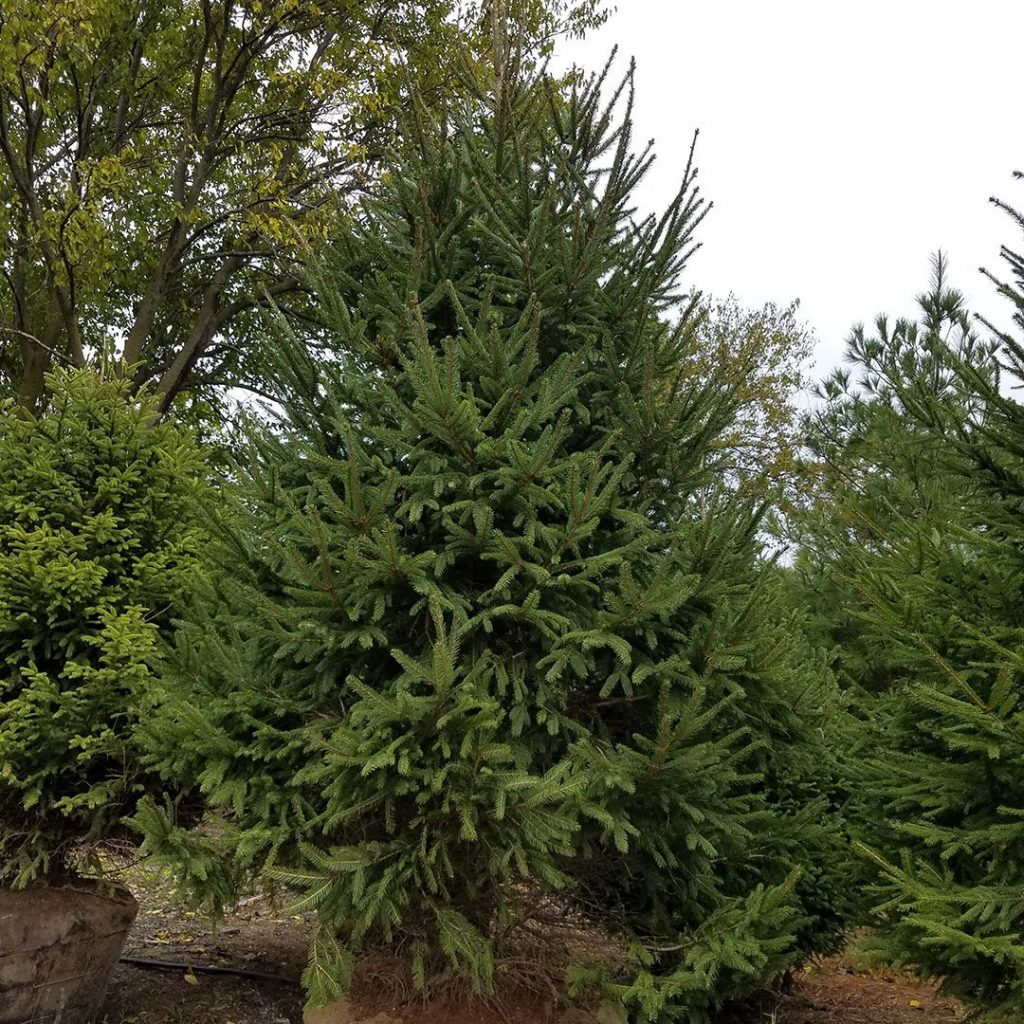 20170A Picea abies A TR 2