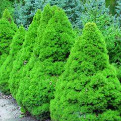20400A Picea glauca Conica A CF 1