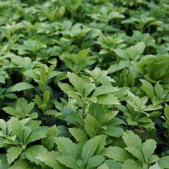 20636A Pachysandra Green Carpet A GC 2