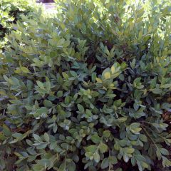 20651A Buxus Northern Charm A DC 2