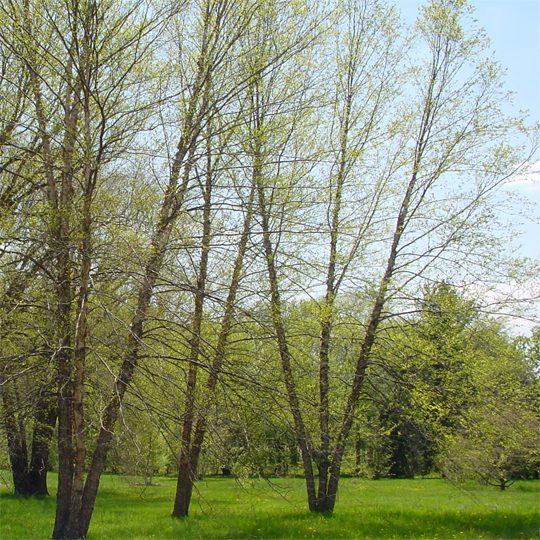 20914A Betula nigra A TR
