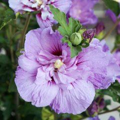 20981A Hibiscus Lavender Chiffon A DC 1