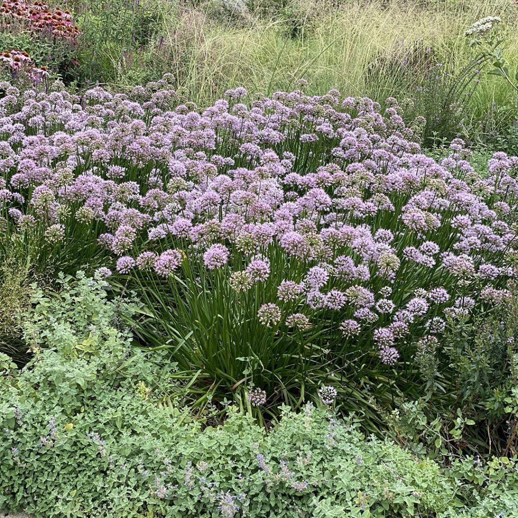 21178A Allium Summer Beauty A PO