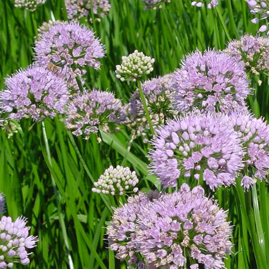 21178B Allium Summer Beauty B PO