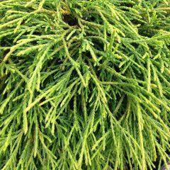 21193A Chamaecyparis filifera Aurea Nana 1