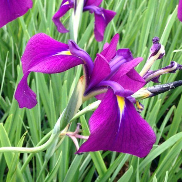 22006A Iris ensata variegata A PO 1