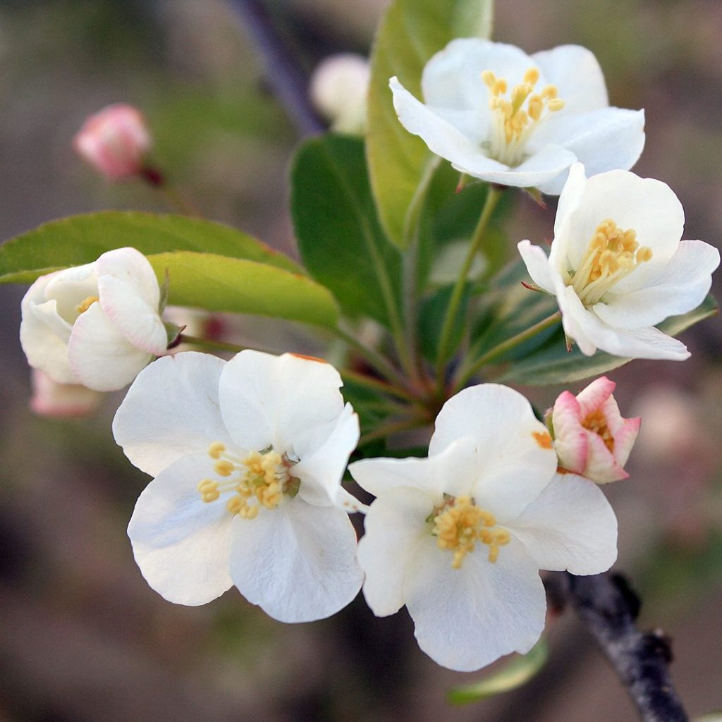 22428A Malus sargentii A