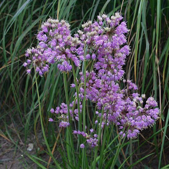 22476A Allium cernuum ngn A NP
