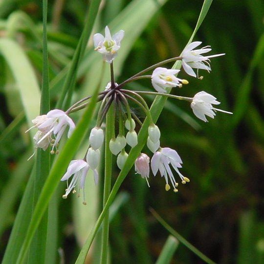 22476B Allium cernuum ngn B NP 1