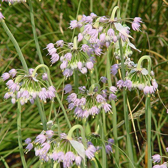 22476C Allium cernuum ngn C NP 1