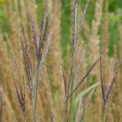 22479A Andropogon gerardii NGN A NP