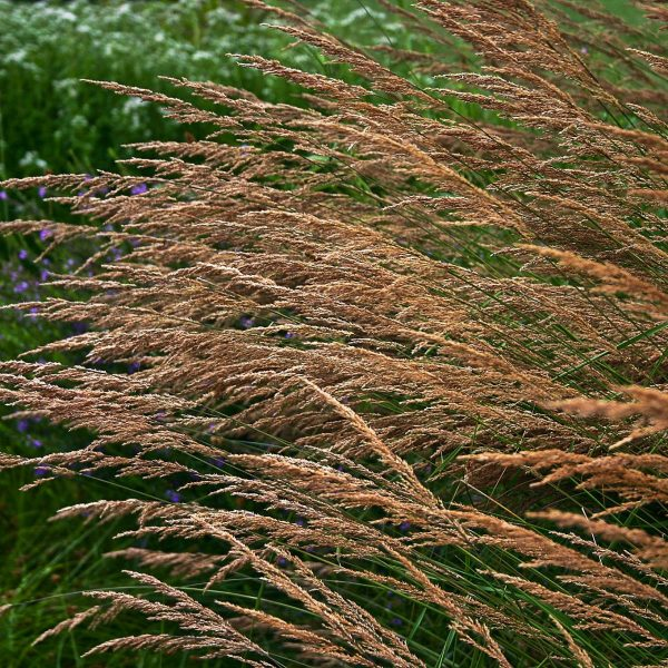 22514A Calamagrostis canadensis NGN A NP 1
