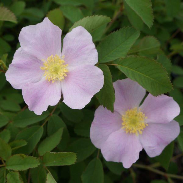 22653A Rosa blanda