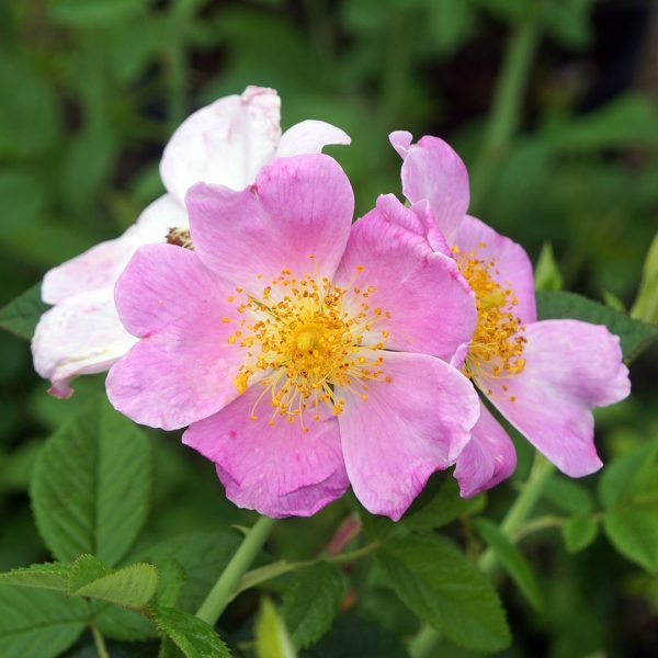 22656A Rosa setigera