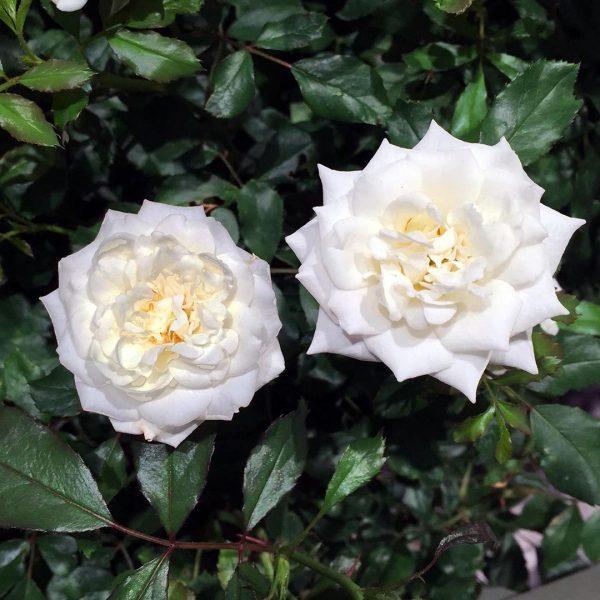 23693A Rosa Drif White