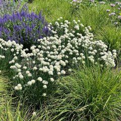 23695A Allium schoenoprasum album