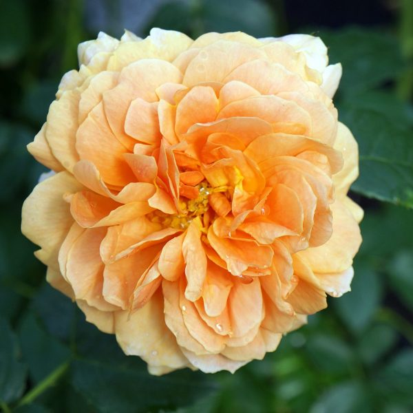 23811A Rosa At Last