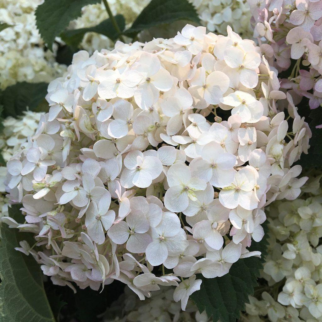 23832A Hydrangea Wee White