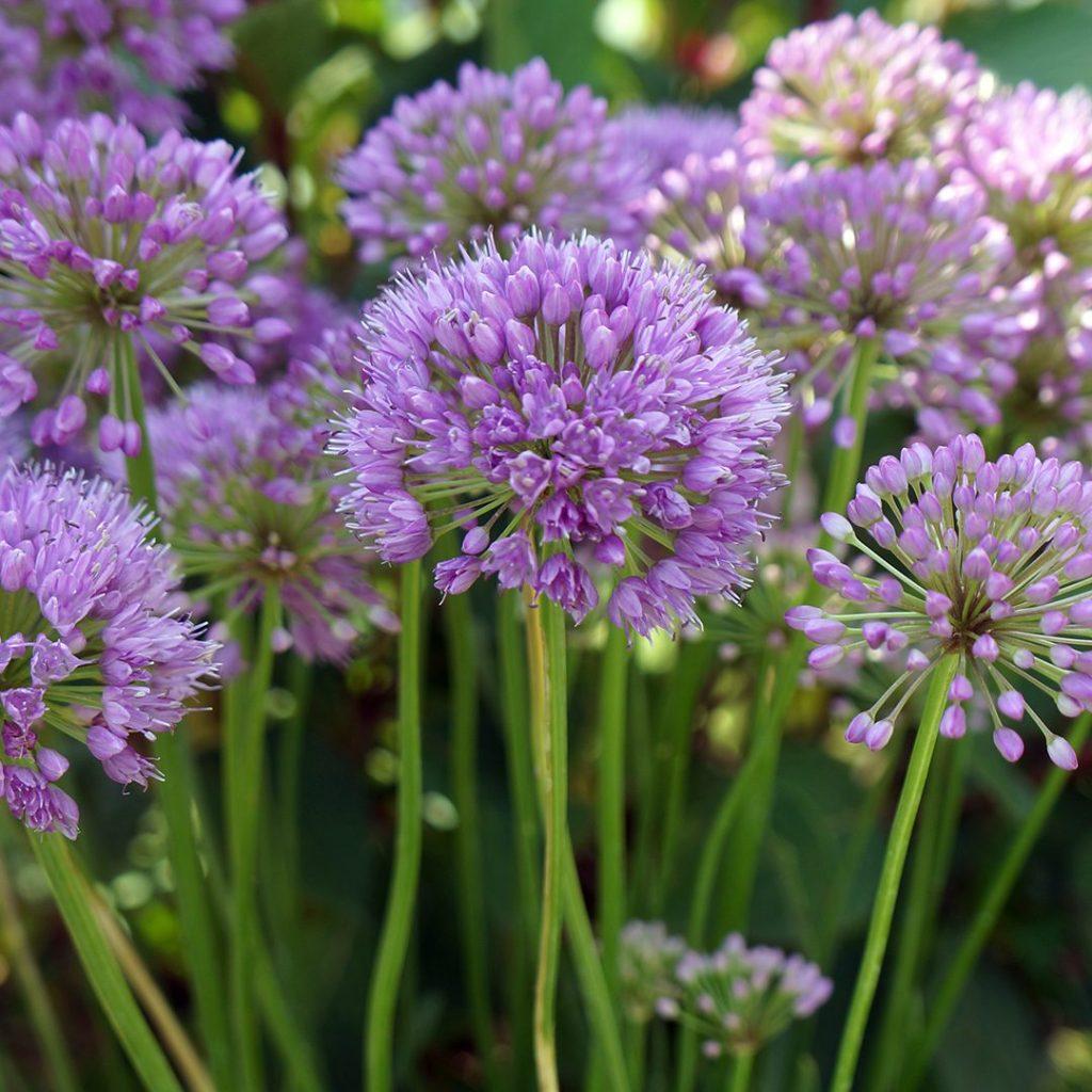 23933A Allium Millenium