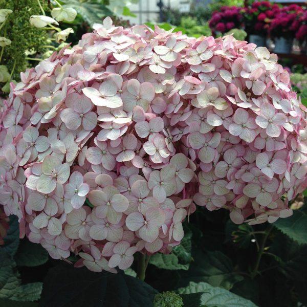 23960A Hydrangea Incrediball Blush