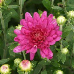 21047A Chrysanthemum Pink A TA