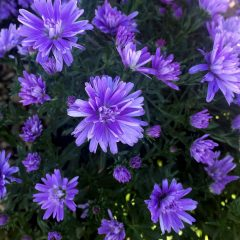 23216A Aster Double Blue Fall