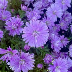 23218A Aster Double Purple Fall