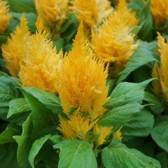 23758A Celosia Fresh Look Yellow
