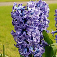 21059A Hyacinth Blue A