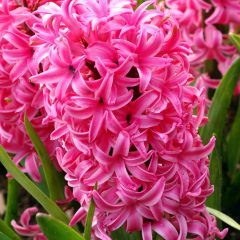 21060A Hyacinth Pink A