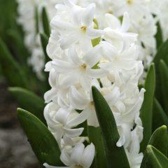 21061A Hyacinth white A