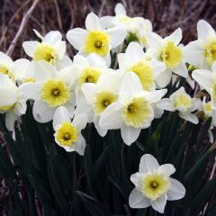 21067A Narcissus Ice follies