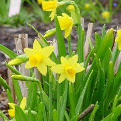 21069A Narcissus Tete a Tete A BB