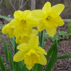 21072A Narcissus Dutchmaster A BB