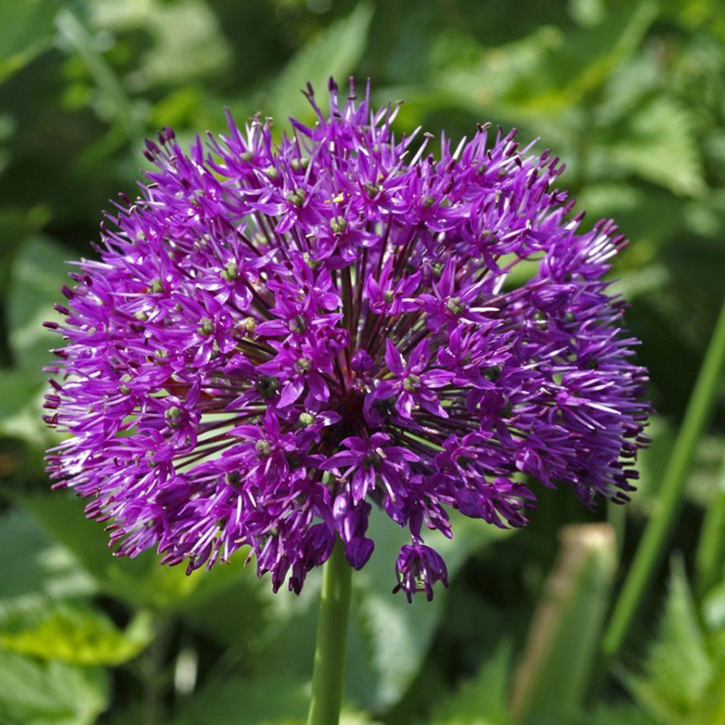 21552A Allium Purple Sensation