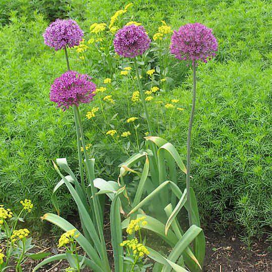 21552B Allium Purple Sensation B BB