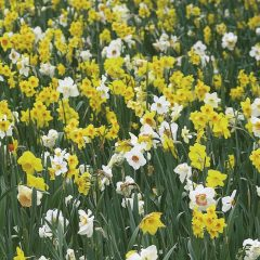 22213A Narcis All Spring Mixture