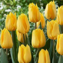 23453A Tulip Golden Apeldoorn