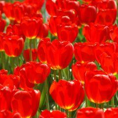 Tulip  Oxford