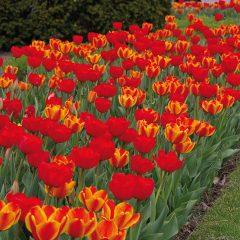 Tulip Burning Embers Mix