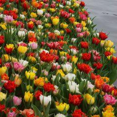 Tulip Double Pleasure Mix