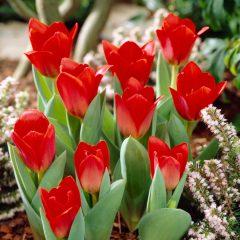 Tulip Showwinner