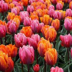 Tulip Sunset Reflection Mix