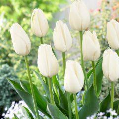 Tulip White Clouds
